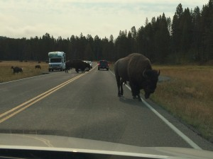 This is what a traffic jam looks like in Yellowstone. These guys own the road. I mean, are you going to play chicken with a 1500 pound buffalo? I don't think so.